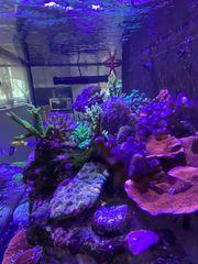 Korallen meerwasser Aquarium
