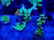 Acropora valida - SPS Korallen Meerwasser