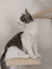 Maine Coon Youngster XL
