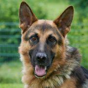 Jouston 2 Jahre - Schäferhund -Tierhilfe