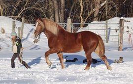 Nette Kaltblut Stute Dolly Buster: Kleinanzeigen aus Blaiken - Rubrik Pferde