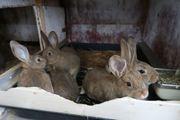 Junge Stallhasen Kaninchen zu verkaufen