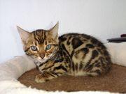 Wunderschöne Reinrassige Bengal Kitten