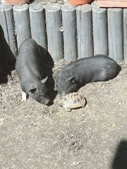 2 Microschweine kleine Ferkel Minischweine