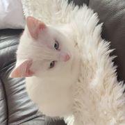 Britisch Kurzhaar Angora Mix Katze