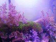 div Korallen lebende Steine Anemonen