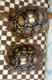 Panthaschildkröten Landschildkröte