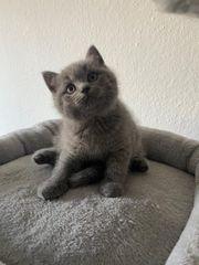 BKH Kitte zu verkaufen