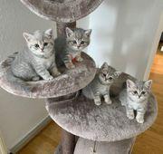 BKH Kitten in liebevolle Hände