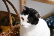 Katzendame Gipsy sucht ein Zuhause