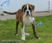 Temperamentvolle Boxer Welpen