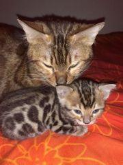 Bengal kätzchen in liebevolle Hände