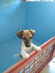 Jack Russell Terrier Welpe mit