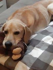 Labrador-Beagle Mix Sammy sucht Zuhause