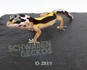 Leopardgeckos Zorro Bandit Mack Snow