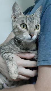 Tigerkatzen-Mädchen sucht ein Zuhause mit
