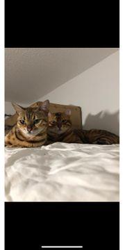 Katzenpärchen abzugeben