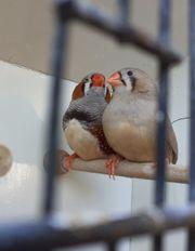 Schauzebrafinken