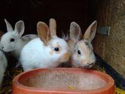 Hase Zwergkaninchen Zwerghasen Kaninchen