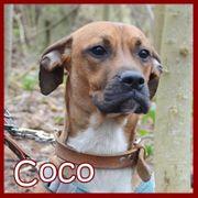 COCO - Boxermix auf der Suche