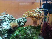 Minianemone Meerwasser Salzwasser