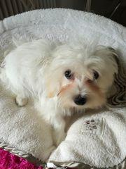 Hunde Welpe Rüde zu verkaufen