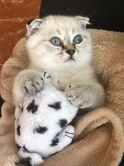 Traumhaften BKH Kitten Babys Katze