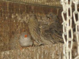Mexikanische Karmingimpel Vogel zuchtreife und: Kleinanzeigen aus Birkenheide Feuerberg - Rubrik Vögel
