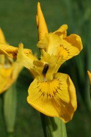 5 Fächer unserer gelben Wasser-Schwertlilie