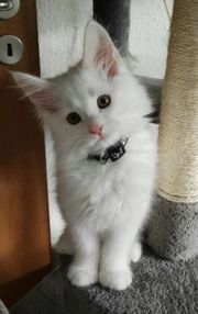 Maine Coon Kater in weiss