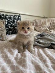 Reinrassige Britische Kurzhaar Kitten in