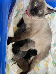 BKH Siam Mix Kitten 1