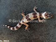 Leopardgecko 2020 Männchen Weibchen
