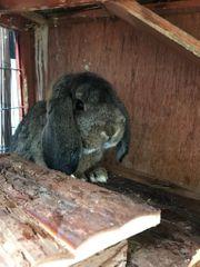 Zwei männliche Widder- Kaninchen