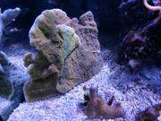 Meerwasser Montipora Hofmeisteri 15x12cm