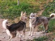 Lobo Herreno Canarischer Wolfshund Hütehund
