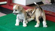 Schopfhunde Welpen kerngesund kontrollierte kleine
