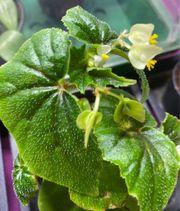 Begonia cucullata Zimmerpflanze