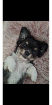 Chihuahua Tricolor Langhaar Welpe
