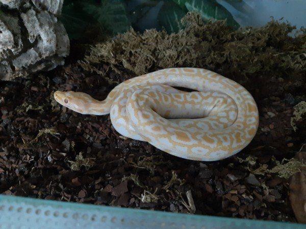 albino tigerpython