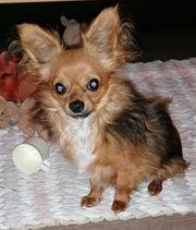Chihuahua Rüde