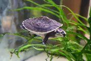 Wasserschildkröten Babys-Emydura Subglobosa