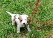 reinrassige Parson Russell Terrier
