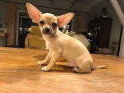 Joda Ein Chihuahua für anspruchsvolle