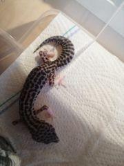 Leopardgecko MSS Eclipse 0 1