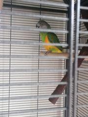 Mohrenkopf Papagei und nymphensittich mit