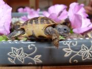 Griechischen Landschildkröten THB NZ2021
