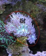 Meerwasser Korallen Versand