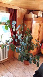 Pflanze - Gummibaum
