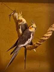 2 Nymphensittich Paare 4 Vögel